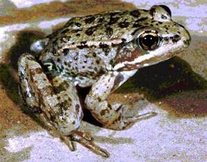 I.B.b.3 red-legged frog