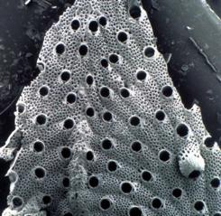 bryozoan2